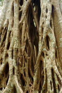 Image of the roots of a strangler fig